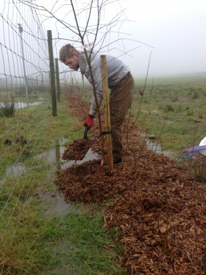 native hedgerow planting, tree planting, alnus glutinosa, alder