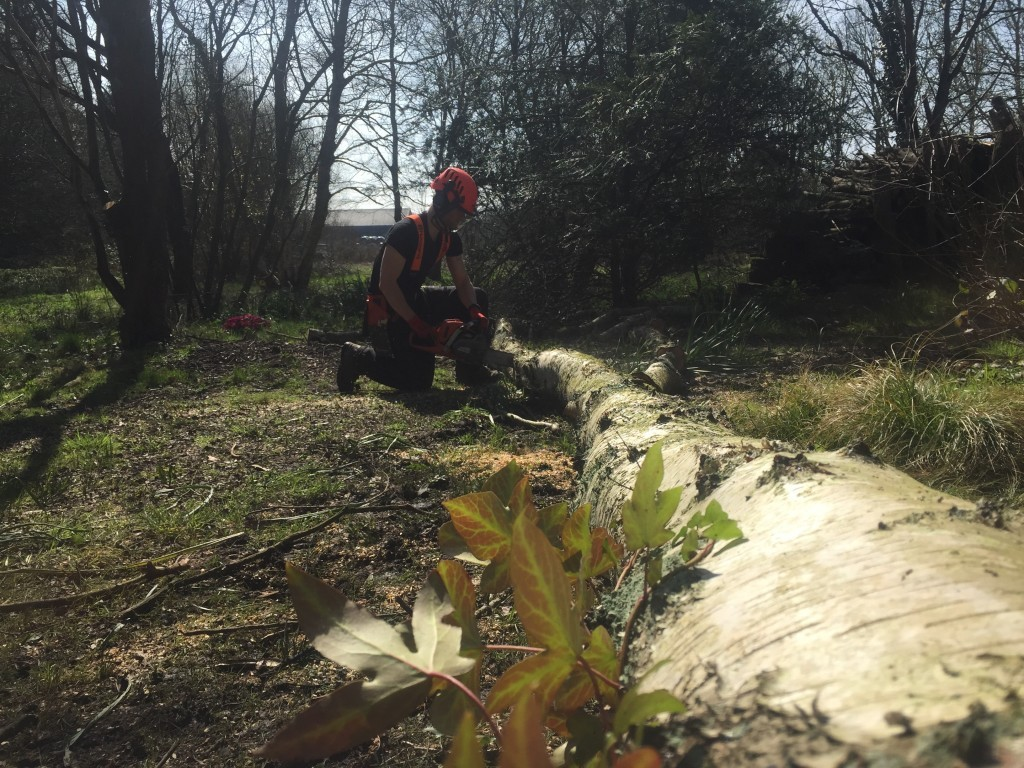 cross-cutting a birch