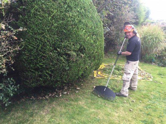 Sean raking up after hedge trimming