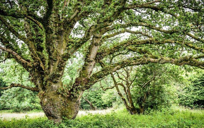 Ancient Tree Forum, ATF, ancient trees, veteran trees, Dorset