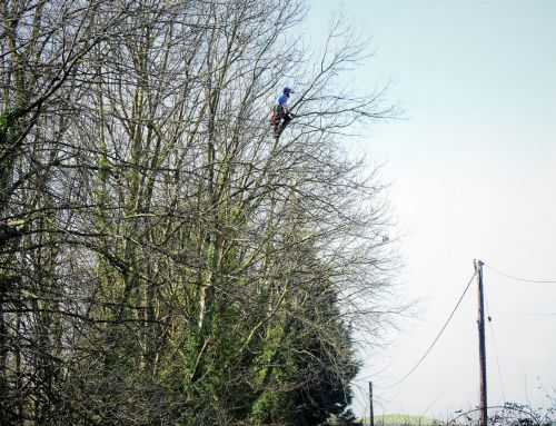 Weymouth tree safety work