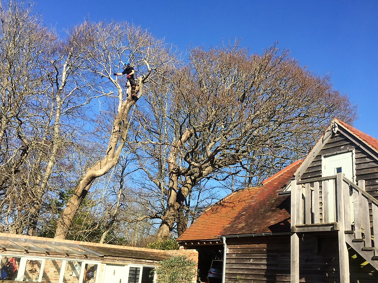 felling a large ash tree, tree felling in Weymouth, tree felling, ash tree, tree dismantling, Weymouth tree felling, tree safety work, dangerous tree