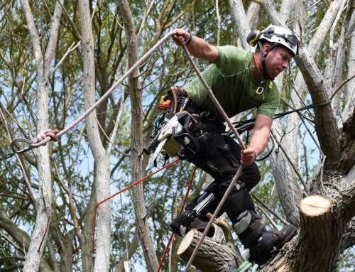 Dismantling a large willow tree