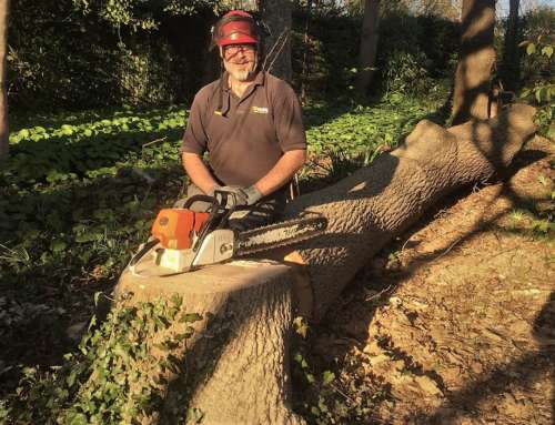 Felling a large ash tree