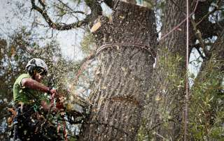 dismantling a large willow tree, dismantling, tree dismantle, willow tree, Weymouth tree surgeon, Weymouth tree surgeons, Dorset tree surgeons, Dorset tree surgery, Dorchester tree surgery, tree surgery Dorset, tree surgery Dorchester, tree surgery Weymouth, arborists, arboriculture